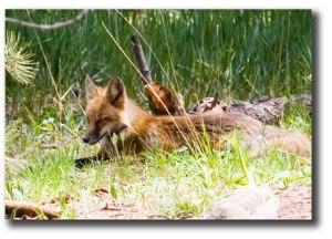 Red-Fox-2