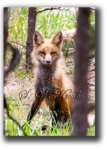 Red-Fox-3