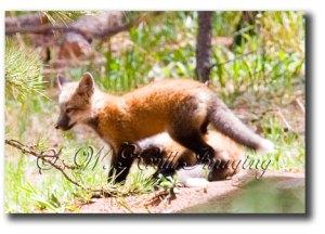 Red-Fox-4-(cub)