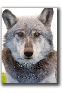 Apache the wolf ambassador from the Rocky Mountain Wildlife Foundation in Guffy, Colorado
