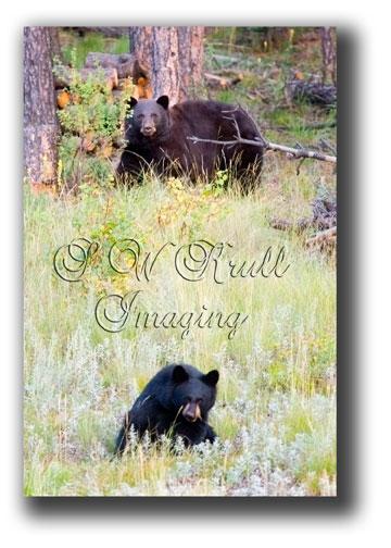 Black-Bears-4