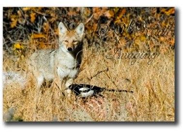 Coyote-&-Magpie