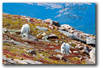 Mountain-Goats