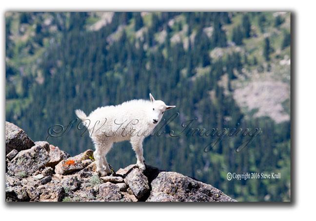 Baby-Mountain-Goat.jpg