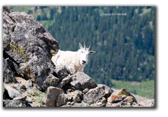 Goat-Peeking