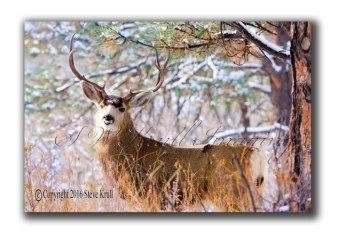 winter-buck