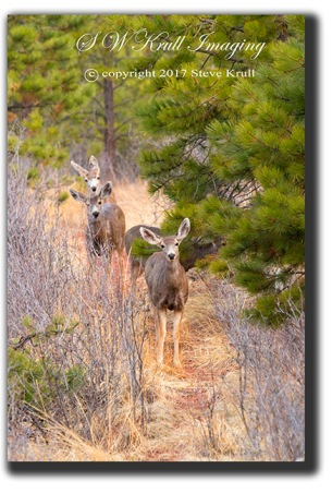Doe mule deer in the wilderness