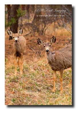Two doe mule deer in the Pike National Forest