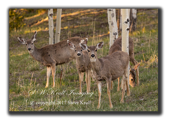 Cute herd of curious mule deer