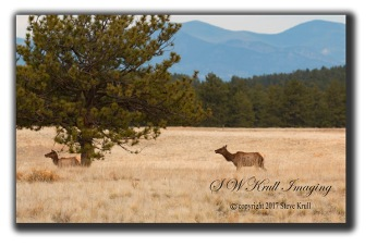 Elk in the Fossil Beds National Monument