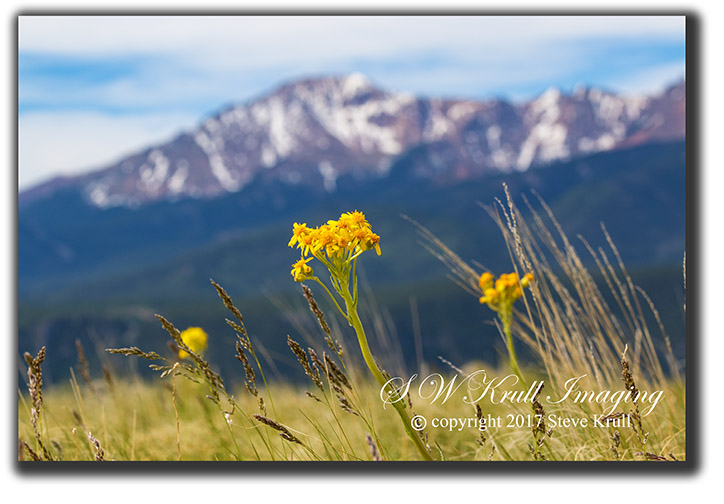 Yellow Wildflowers on Bald Mountain with Pikes Peak in the background