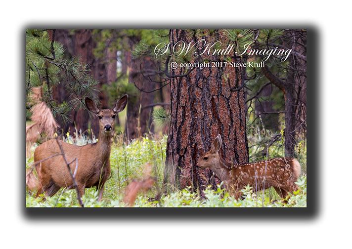Doe & Fawn Mule Deer