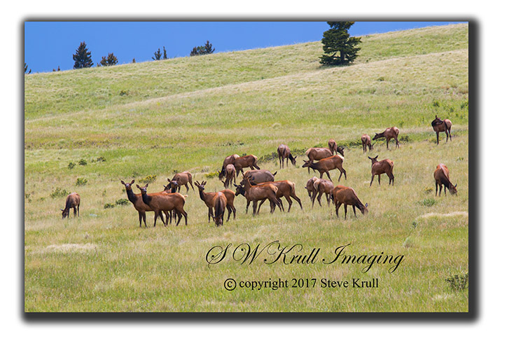 Herd of Elk