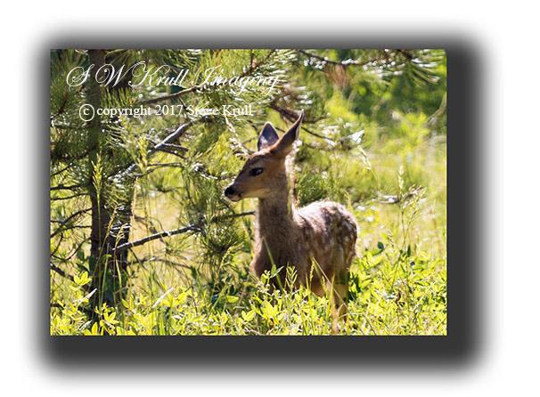 Fawn Mule Deer