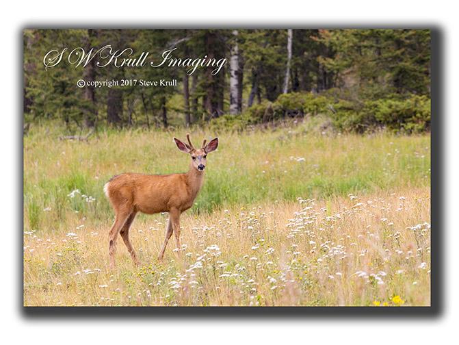 Colorado Mule Deer
