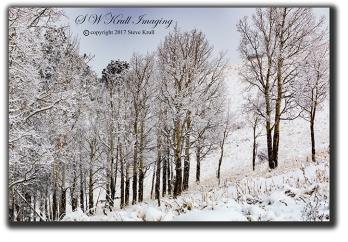 Frosty Aspen Trees