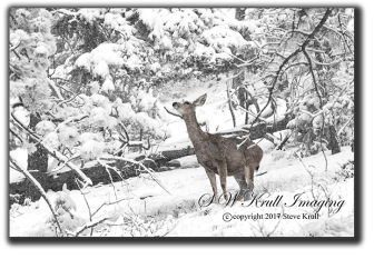 Mule Deer in Heavy Snow