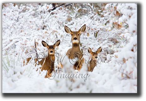 Three does in snow
