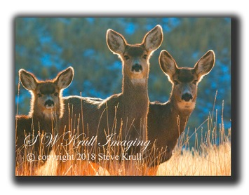 Colorado mule deer in the winter