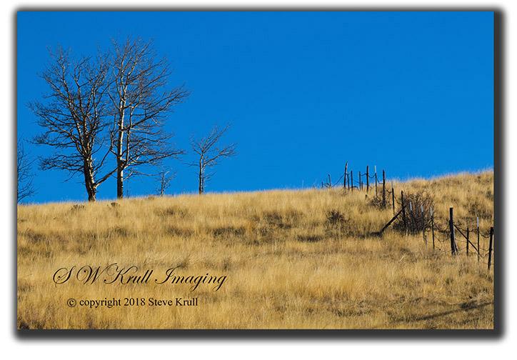 Springtime Aspen and Fence