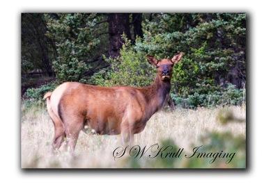 Lone elk cow