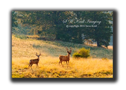 Pair of Mule Deer Bucks