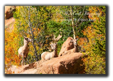 Trio of Autumn Bighorn