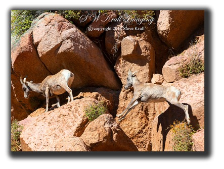 Leaping Bighorn