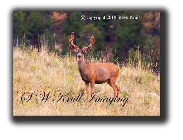 Magestic Buck Deer