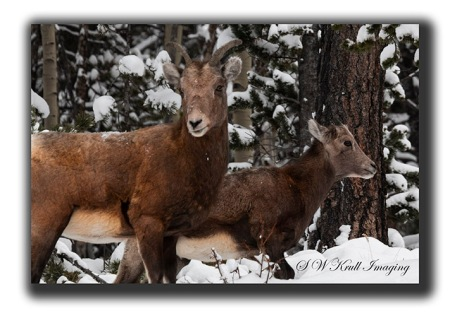 Pair of Bighorn Sheep