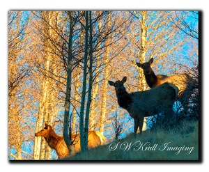Elk Herd at Sunrise