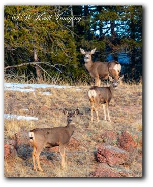Trio of Deer in the Wilderness