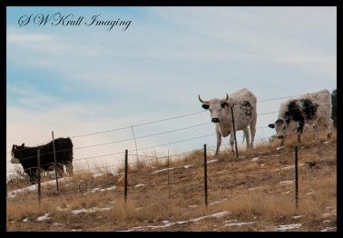 Free Range Bull