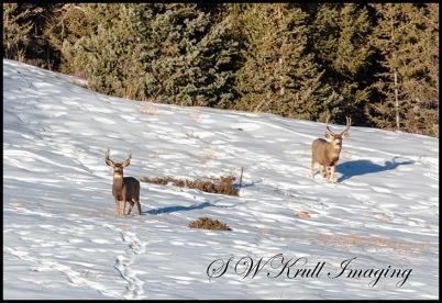 Twin Bucks in the Snow