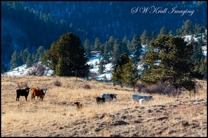 Free Range Cattle in the Rockies