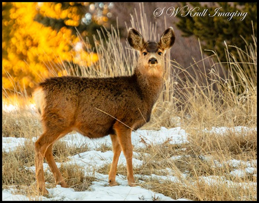 Cute Mule Deer Doe