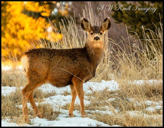 Cute Mule Deer Doe