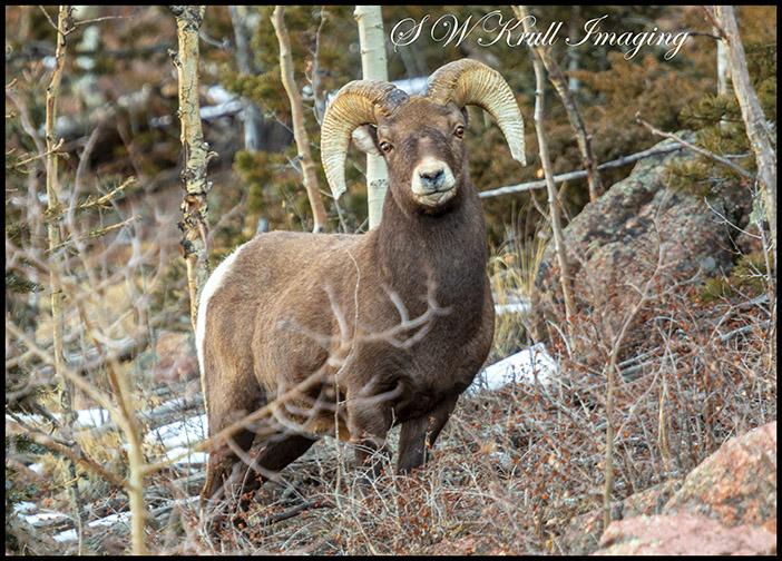 Massive Bighorn Sheep