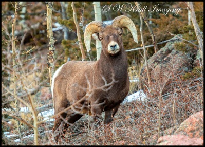 Massive Bighorn Sheep