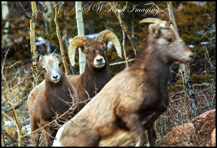 Bighorns frolicking in the Colorado Rockies