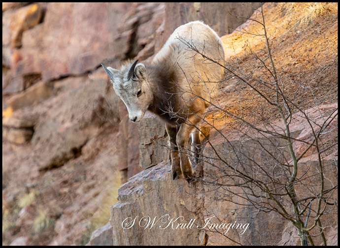 Baby Bighorn Playing on the Rocks