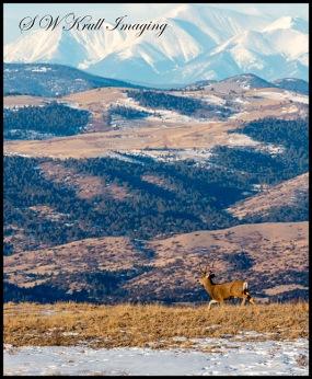 Beautiful Buck Mule Deer and the Sangre