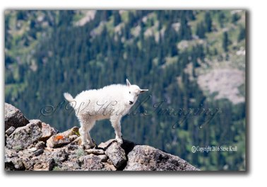 Baby Mountain Goat