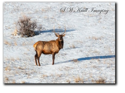 Beautiful Bull Elk in Snow