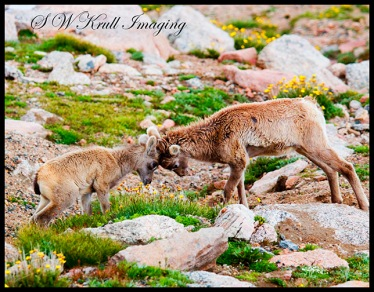 Baby Bighorn Sheep Playing on Mount Evans