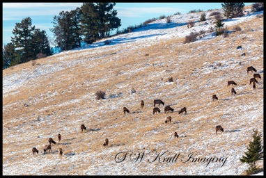 Elk Herd Grazing on the Mountain
