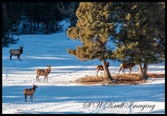 Elk Herd Resting