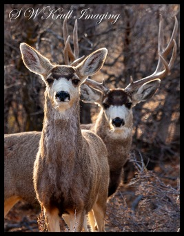 Mule Deer Couple
