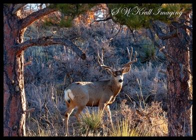 Winter Buck Mule Deer