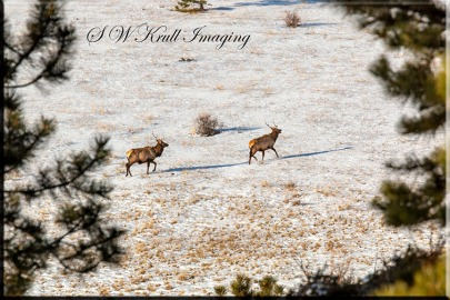 Elk Herd in the Rocky Mountain Snow